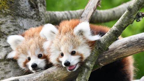 Rote Pandas