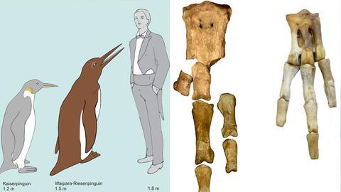 Der Waipara-Riesenpinguin im Größenvergleich zu einem Kaiserpinguin und einem Menschen. (li.) Rechts:  Die Fußknochen des neuen Riesenpinguins (li.), im Vergleich zu denen eines Kaiserpinguins.