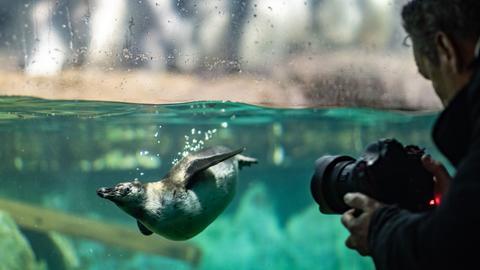 Humboldt-Pinguine im Frankfurter Zoo