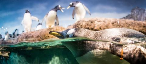 Pinguine im Frankfurter Zoo