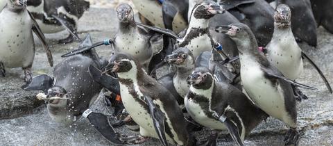 Humboldt-Pinguine in ihrer neuen Anlage im Frankfurter Zoo