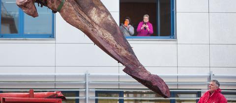 Kieferstück eines Pottwals hängt in Gießen am Kran