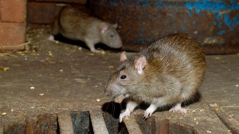 Eine Ratte kommt selten allein.