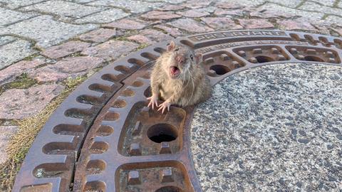 Die Ratte sitzt in Bensheim in einem Gullydeckel fest.
