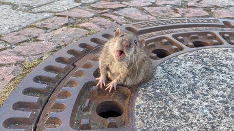 Festgeklemmte Ratte in Bensheim