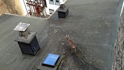 Das verängstigte Reh steht auf einem Hausdach in Dillenburg.
