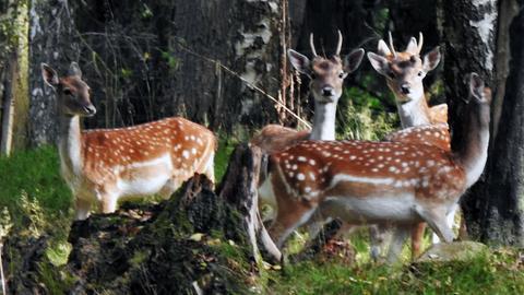 Vier Rehe im Wald