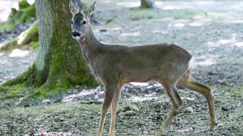 Das Rehkitz gewöhnt sich an den Wald.