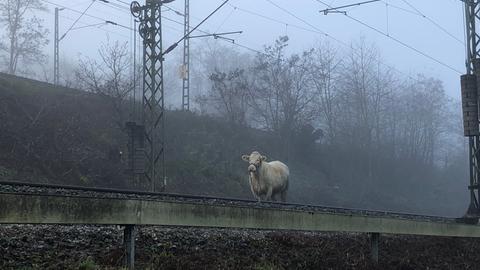 """Die trächtige Kuh """"Lotte"""" auf dem Gleis"""