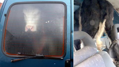 Die Fotos zeigen ein Rind im Auto, wie es von innen und außen aussieht.