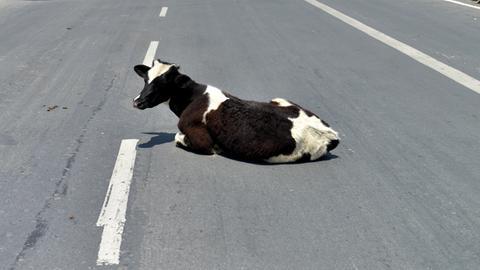 Rind liegt auf der Straße