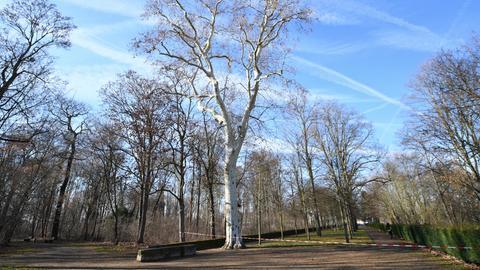 Kahle Bäume im gesperrten Schlosspark Rumpenheim in Offenbach.