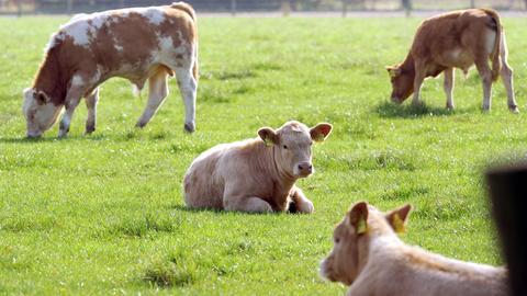 Junge Rinder auf der Weide