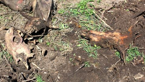Knochen von illegal entsorgten Rindern liegen auf einer ehemaligen Müllkippe in Schlüchtern.