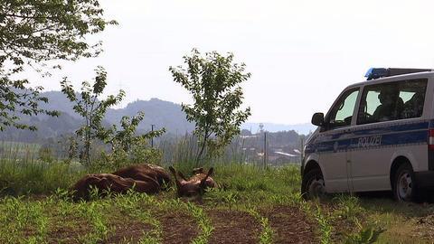 Tote Rinder und Polizeiwagen