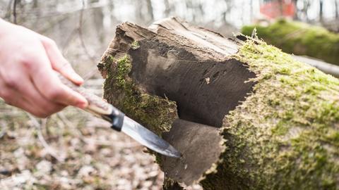 Eine Hand mit einem Messer zeigt auf einen Baum, der von der Rußrindenkrankheit befallen ist.
