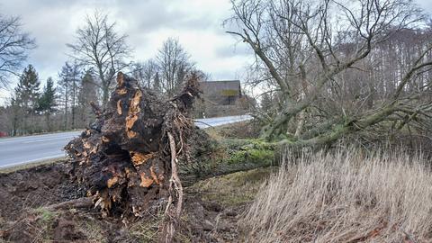 Umgestürzter Baum nahe Hoherodskopf und Schotten (Vogelsberg).
