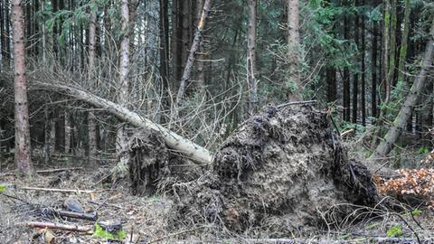 Umgestürzter Baum im Wald am Hoherodskopf (Vogelsberg)