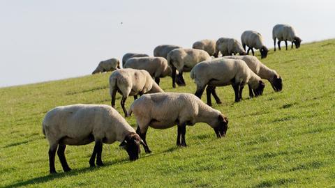 Schafe grasen auf einer Wiese.