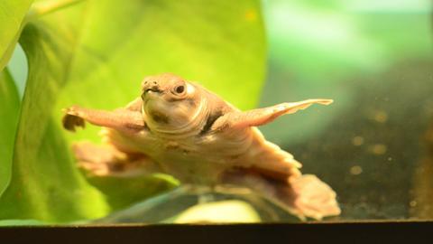 Papua-Weichschildkröte