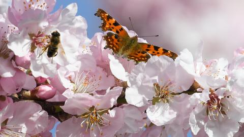 Ein C-Falter und eine Honigbiene in Blüten eines Mandelbaums in Bensheim (Bergstraße)