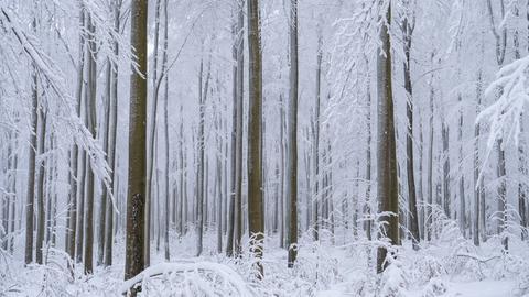 Braune Baumstämme ragen in die Höhe, dazwischen sind schneebedeckte