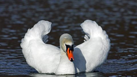 Höckerschwan im Wasser