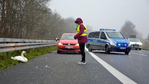 Schwan auf der Autobahn bei Gudensberg