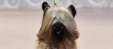 Ein Skye Terrier auf einer Zuchtschau.