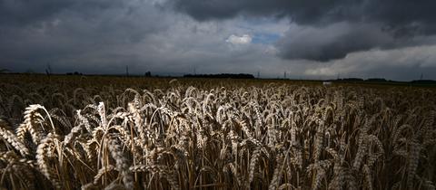 Ein Getreidefeld bei Nieder-Erlenbach und darüber dunkle Wolken