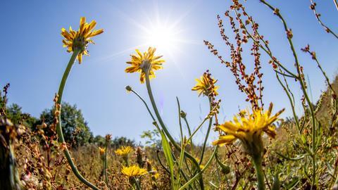Sonne über einem Sonnenblumen-Feld.