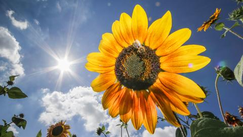 Sommer Sonnenblume sujet