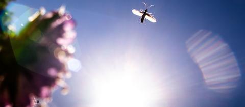 Ein kleines Insekt fliegt vor der Sonne entlang