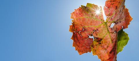 Die Sonne scheint durch ein Blatt im Weinberg.