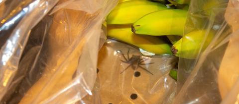 Spinne in einer Bananenkiste in einem Supermarkt in Lauterbach