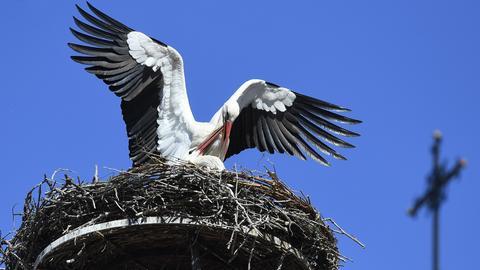 Ein Weißstorch im Nest