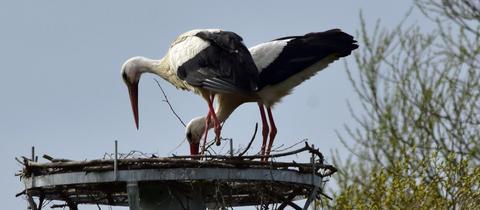 Einbeiniger Storch Karl