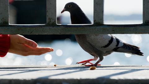 Eine Taube wird per Hand gefüttert