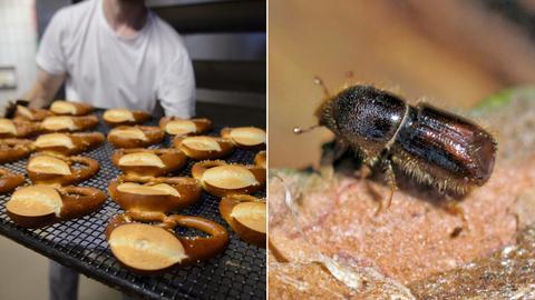 Collage: Bäcker (links), Borkenkäfer (rechts)