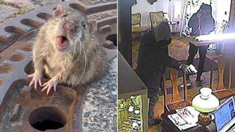 Ratte in Bensheim, Überfall in Melsungen