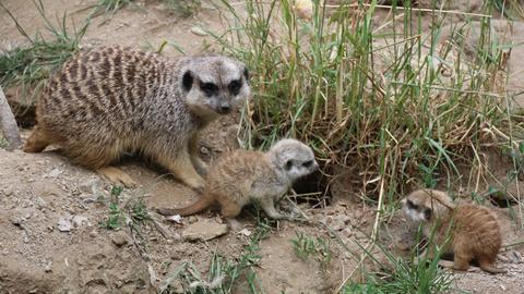 Zwei junge Erdmännchen mit ihrer Mutter im Opel-Zoo Kronberg