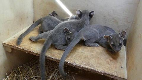Gleich vier kleine Fossas erblickten im Frankfurter Zoo das Licht der Welt.