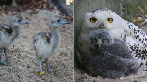 Tiernachwuchs im Opel-Zoo: Nandu-Küken und Schnee-Eulen-Baby mit Mama