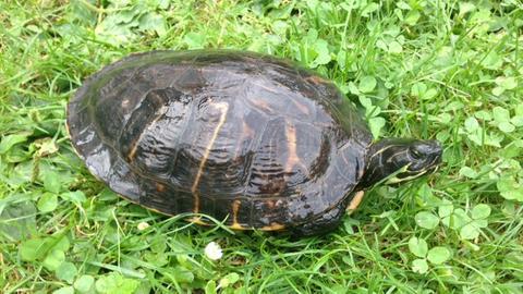 Schildkröte, die bei der Polizei abgegeben wurde.