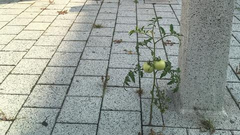 Tomatenpflanze am Flughafen Frankfurt