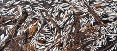 Tote Fische