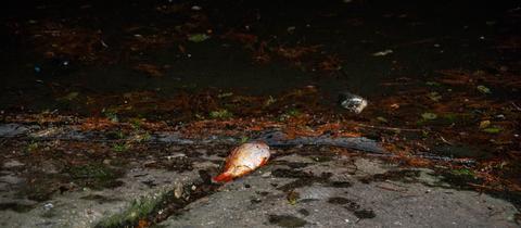 Tote Fische im Weiher des Wiesbadener Kurparks