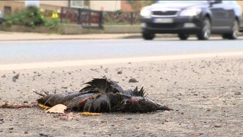 Toter Vogel auf Straße, Auto