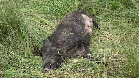 Das Wildschwein kam offenbar bei dem Verkehrsunfall ums Leben.
