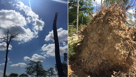 Zwei Bäume, deren Krone abegerissen wurden, und ein entwurzelter Baum.